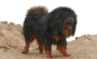 mendeltna mastiffs - Dog Breeders