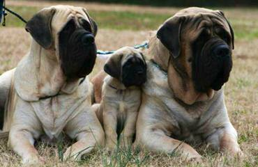 PetMastiFFee Concept - Dog Breeders