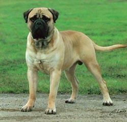 Faith Walk Mastiffs - Dog Breeders