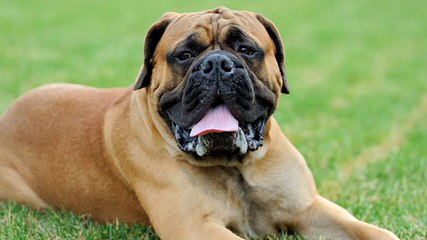 Traugh's English Mastiffs - Dog and Puppy Pictures