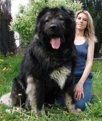 Kents Mastiff - Dog Breeders