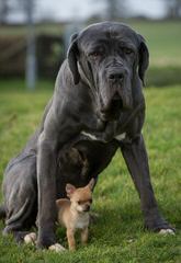 Gentle Giant English Mastiff-Puppies Available Now - Dog Breeders