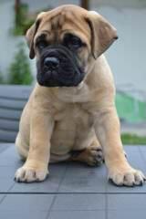 Male Mastiff Puppy - Dog Breeders