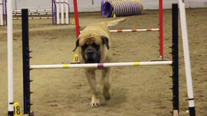 Masiffs & English Bulldogs - Dog Breeders
