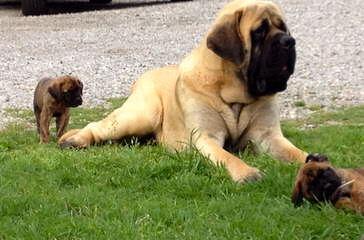 Legend Dogo Argentinos / Argentine Dogo - Dog Breeders