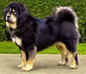 Matanuska Mastiffs - Dog Breeders