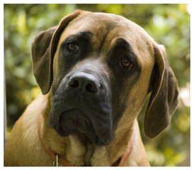 Mythicalmaze Mastiffs - Dog Breeders
