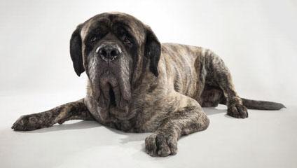 Mastweiler Puppies Ready In Georgia September - Dog Breeders