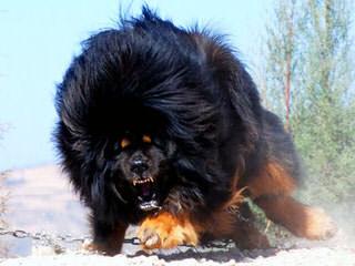 Lil Foot Mastiffs - Dog Breeders