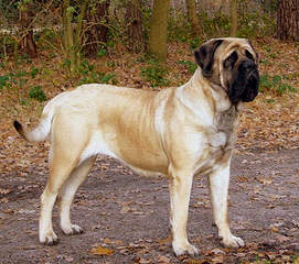 English Mastiff Breeder - Dog Breeders