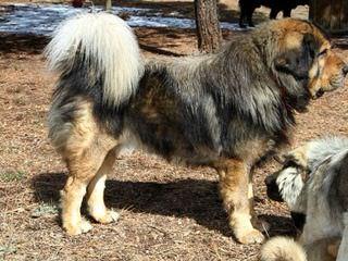 Devincourt Mastiffs - Dog Breeders
