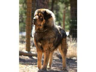 Owl Creek Mastiffs - Dog Breeders