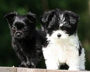 Mi-Ki Club Of America - Dog Breeders