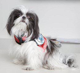 Star Quality Mi-Ki's – Puppies Available! - Dog Breeders