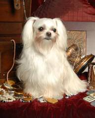 Designer Mi-Ki Malti Poos - Dog Breeders