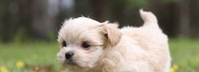 Wendlz Wee Ones Mi-Ki's - Dog Breeders