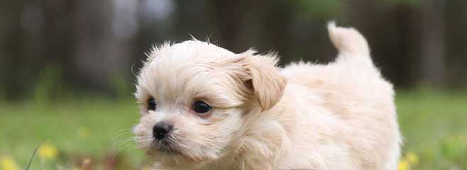 Angelic Mi-Kis - Dog Breeders
