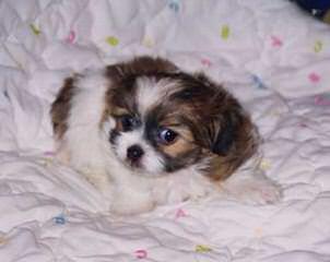precious - Dog Breeders