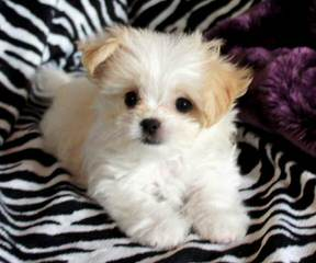 Star Quality Mi-Ki's – Puppies Available! - Dog Breeders