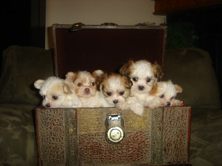 Little Mi-Kis – 2 New Litters! - Dog Breeders