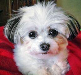 Bowchic's – New Babies! - Dog Breeders