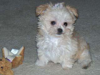 International Mi-Ki Registry - Dog Breeders