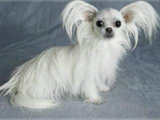 Purebred MI-KIs - Dog Breeders