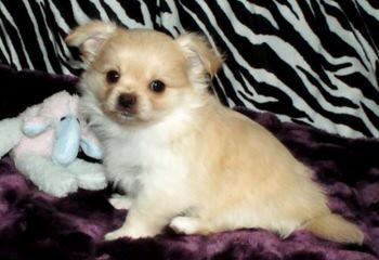 Rare Gem Mi-Ki's LTD - Dog and Puppy Pictures