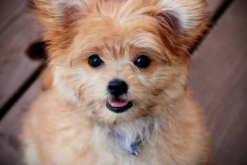 So Fine Mi-Kis Has Puppies - Dog Breeders