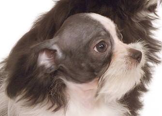 Simonsezmiki - Dog Breeders