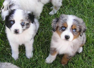 Miniature Australian Shepherd Dogs and Puppies