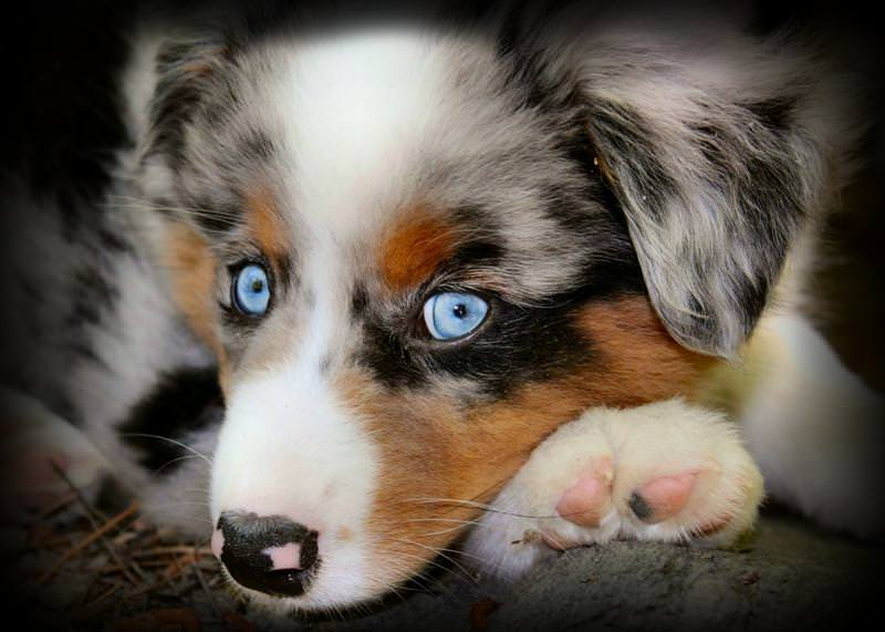 Miniature Australian Shepherd Dogs and Puppies