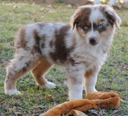 MercyMe Aussies - Dog Breeders