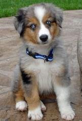 DiamondR Mini Aussies - Dog Breeders