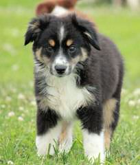 Purebred Miniature Aussie Pups - Dog Breeders