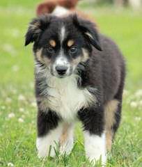 Miniature Australian Shepherd Puppies - Dog Breeders