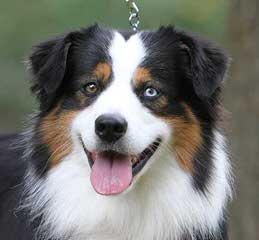 Southern Charm Mini Aussies - Dog Breeders