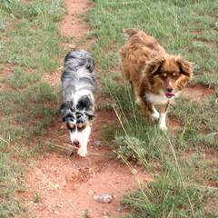 City Slickers Ranch Mini/Toy Aussies - Dog Breeders