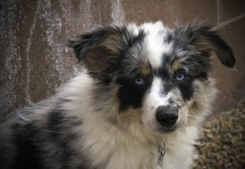 Mapleview Kennels - Dog Breeders