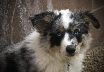 AmericanMiniatureShepherds (Designer Aussies) - Dog Breeders