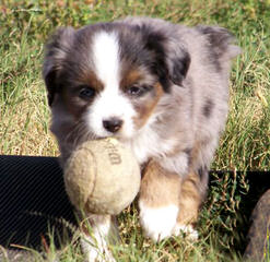 Naci's Aussies - Dog Breeders