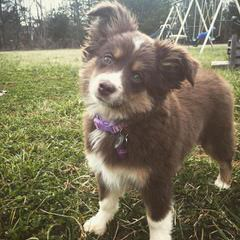 Southwind Farm NY Miniature Australian Shepherds - Dog Breeders