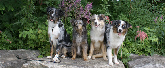 Lonestar Aussies - Dog Breeders
