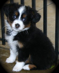 Sunflower Mini Aussies - Dog Breeders