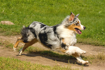 Wine Country Mini Aussies - Dog Breeders
