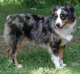 Southern Charm Mini Aussies - Dog Breeders