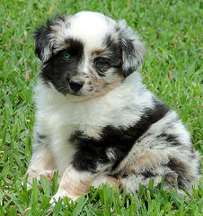 Bar-KL Miniature Australian Shepherds - Dog Breeders