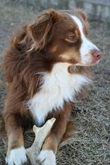 Bar-KL Miniature Australian Shepherds - Dog Breeders