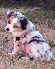 Welsh Corgi Pups And Aussie Corgi Hybrids - Dog Breeders