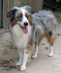 74 Ranch Aussies - Dog Breeders